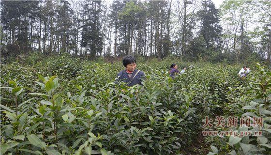 大关茶产业
