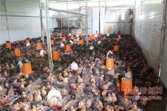 黑蹄寨发展林下养鸡壮大村集体经济